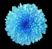 Blue flower chrysanthemum, garden flower, black isolated background with clipping path. Closeup. no shadows. blue centre. Nature stock photography
