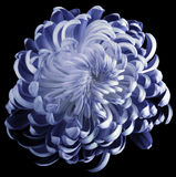 Blue flower chrysanthemum.  Motley garden flower.  black  isolated background with clipping path no shadows.  Closeup. Royalty Free Stock Image