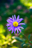 Blue flower - close-up Stock Photography