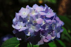 BLUE HYDRANGEA FLOWER Royalty Free Stock Photo