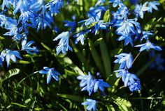 Blue flower close-up spring day sunlight garden. Flower blue nature garden day sunlight royalty free stock photos