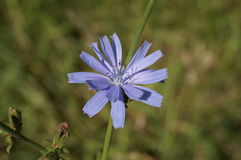 Blue flower of common chicory. On a branch Royalty Free Stock Photos