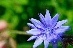 Blue flower Common chicory Cichorium intybus. Common chicory, Cichorium intybus, a  woody, perennial herbaceous plant of the dandelion family Asteraceae, usually Stock Photo