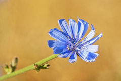Blue flower of common chicory Royalty Free Stock Photography