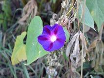 A blue flower, convolvulus stock images