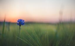 Blue flower. In corn field Stock Photography