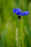 Blue flower cornflower Stock Images
