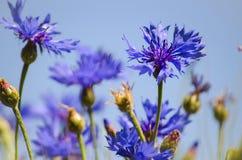 Blue flower cornflower Stock Images