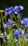 Blue flower cornflower Royalty Free Stock Photo
