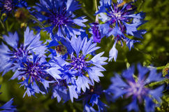 Blue flower cornflower Stock Photo