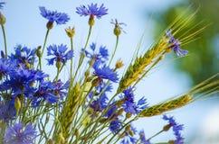 Blue flower cornflower Royalty Free Stock Images
