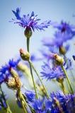 Blue flower cornflower Royalty Free Stock Photos