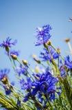 Blue flower cornflower Stock Image