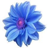 Blue flower dahlia, white isolated background with clipping path. Closeup. no shadows. purple-pink center. side view. for design. Stock Image