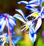 Blue flower. Detail of small blue  spring meadow flower Royalty Free Stock Photo