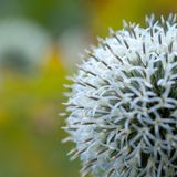 Blue flower of echinops. Funny ball-shaped flower of echinops blooming in the summer park or in the garden royalty free stock photography