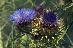 The globe artichoke is a variety of a species of thistle cultivated as a food. A blue flower. The edible portion of the plant consists of the flower buds before royalty free stock photo