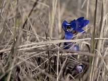 Blue flower at the field. Beautiful blue flower in the middle of the dry grass in Finland Royalty Free Stock Photo