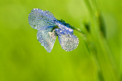 Blue flower of flax blossoms in the field Royalty Free Stock Photography