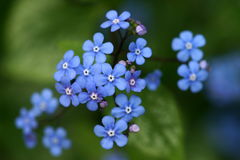 Blue flower forget me not. With green background Royalty Free Stock Photos