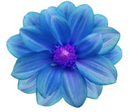 Blue  flower garden, white  isolated background with clipping path.  Closeup. Royalty Free Stock Images