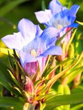 Blue flower of gentian Stock Photos