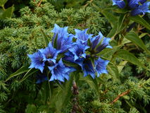 Blue flower, Gentian Royalty Free Stock Photos