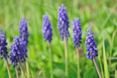 Blue flower, Grape Hyacinth, Muscari racemosum Royalty Free Stock Images