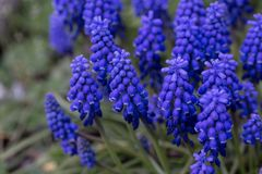 Blue flower, Grape Hyacinth in spring Royalty Free Stock Photography