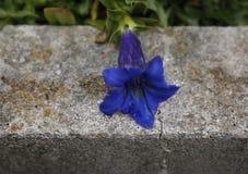 Blue flower on gray concrete Stock Photo