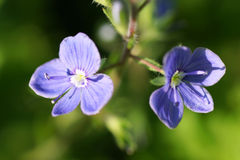 Blue flower on a green background. Stock Images