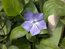 Blue flower in green foliage. A blue flower with petals that are modified leaves that surround the reproductive parts of flowers. They are often bright or stock photography