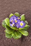 Blue flower with green leaf and root on brown soil. Little blue flower on the soil Royalty Free Stock Image