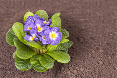 Blue flower with green leaf and root on brown soil. Little blue flower on the soil Stock Photo