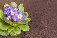 Blue flower with green leaf and root on brown soil. Little blue flower on the soil Stock Photos