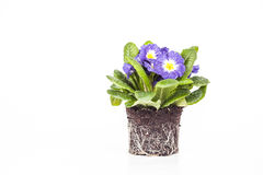 Blue flower with green leaf and root on brown soil. Blue flower isolated in white background Royalty Free Stock Photo