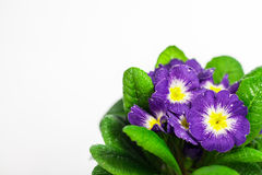 Blue flower with green leaf on white isolated back. Blue flower isolated in white background Stock Photos