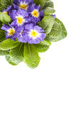 Blue flower with green leaf on white isolated back. Blue flower isolated in white background Stock Photography