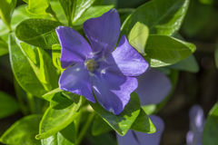 Blue flower and green leaves of periwinkle Royalty Free Stock Photography