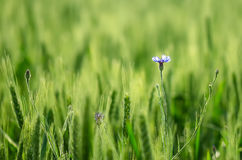 Blue flower in a green wheat Royalty Free Stock Images