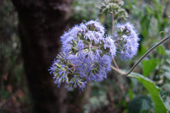 Blue flower. Growing in the Andes Mountains next to the Inca Trail, Peru Royalty Free Stock Photos