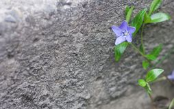 Blue flower growing on the street. Gray stone background stock photos