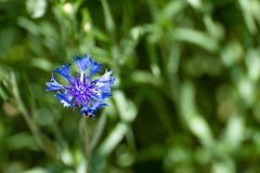 A blue flower grows in a field among the green grass stock photo