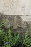 Blue flower and grunge cement wall Royalty Free Stock Images