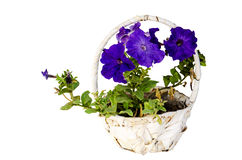 Blue flower hanged in basket Stock Image