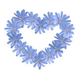 Blue flower heart (chicory). Blue wild flowers in the shape of a heart isolated on white Stock Photos