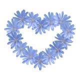 Blue flower heart (chicory) Stock Photos