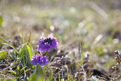 Blue flower in high mountain valley with frost Stock Photography