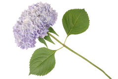 Blue flower hydrangea (Clipping path) Royalty Free Stock Photo