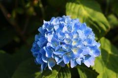 Blue flower hydrangea Stock Photos